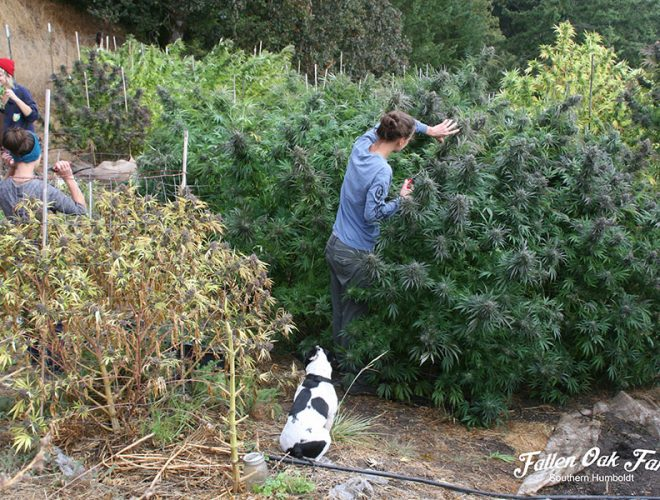 Humboldt County Cannabis Farmers